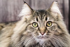 Black and white maine coon cat looking up Royalty Free Stock Images
