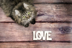 Black and white maine coon cat looking up. On wood floor with love Royalty Free Stock Image