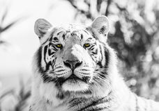 Black and White Majestic Tiger Portrait Royalty Free Stock Photos