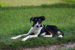 Black and white Malagasy dog. Stock Image