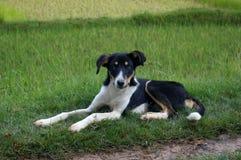 Black and white Malagasy dog. Stock Image