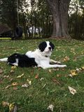 Sprollie puppy. Black and white male springer spaniel and border collie mix Stock Photos