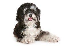 Black and white maltese. Dog on white background Royalty Free Stock Photos