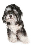 Black and white maltese dog. Royalty Free Stock Image