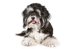 Black and white maltese dog Stock Photos