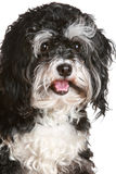 Black and white maltese dog Stock Photography