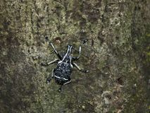 Black and white marbled weevil, Tachyerges salicis stock images