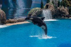 Orcinus Orca, Killer Whale Breaches the water at aquarium in San Diego Sea World California. Black and white marine mammal Killer whale leaps out of water during stock images