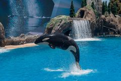 Orcinus Orca, Killer Whale Breaches the water at aquarium in San Diego Sea World California. Black and white marine mammal Killer whale leaps out of water during stock photo