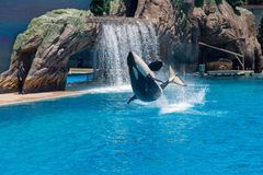 Orcinus Orca, Killer Whale Breaches the water at aquarium in San Diego Sea World California. Black and white marine mammal Killer whale leaps out of water during royalty free stock photos