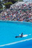 Orcinus Orca, Killer Whale performance in water at aquarium in San Diego Sea World California. Black and white marine mammal Killer whale leaps out of water stock images