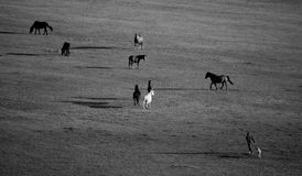 Black and white meadows with horses Royalty Free Stock Photo