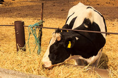 black-white milch cow eats hay behind barrier outdoors Stock Photos