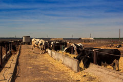 Black-white milch cows eat hay behind barrier of farm Royalty Free Stock Photography