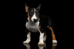 Black and white mini bull terrier Puppy on black background. Black and white mini bull terrier Puppy on Isolated Black Background Royalty Free Stock Photo