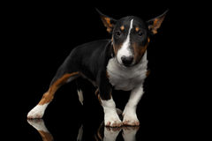 Black and white mini bull terrier Puppy on black background. Black and white mini bull terrier Puppy on Isolated Black Background Royalty Free Stock Image