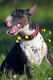 Miniature bull terrier on grass and yellow flowers. Black and white miniature bull terrier on grass and yellow flowers royalty free stock images