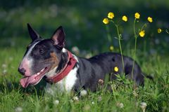 Miniature bull terrier on grass and yellow flowers. Black and white miniature bull terrier on grass and yellow flowers royalty free stock photos