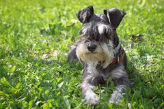 Miniature schnauzer. Black and white miniature schnauzer laying in a green grass outdoors stock images
