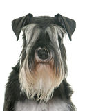 Black and white miniature schnauzer. In studio royalty free stock photography