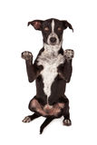 Black and White Mixed Breed Dog Begging Royalty Free Stock Photography