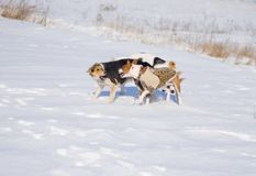 Black and white mixed breed dogs attacks basenji dog. While playing on a fresh snow royalty free stock images