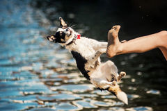 Black and white mongrel dog jumping from foot Royalty Free Stock Image