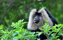 Black& white monkey Royalty Free Stock Images