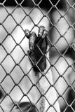 Black and white of Monkey hand touching a cage Royalty Free Stock Photo