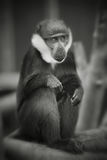 Black and white monkey Royalty Free Stock Images
