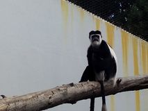 Monkey in the zoo. Black and white monkey in the zoo sits on a tree looking thoughtfully into the distance Royalty Free Stock Photography