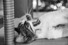 Black and white monochrome image of tabby cat kitten yawning stock photography