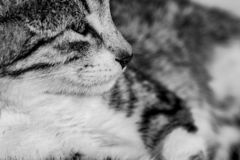 Black and white monochrome portrait image of a tabby cat kitten stock photos