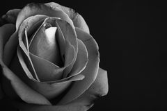 Black and white monochrome, rose flower Royalty Free Stock Photos