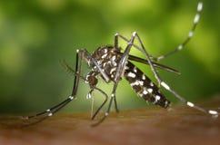 Black White Mosquito Stock Image