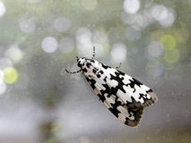 Black and white moth 1 Royalty Free Stock Photo