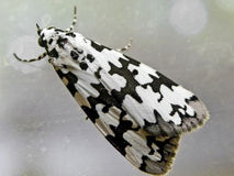 Black and white moth 2 Royalty Free Stock Images
