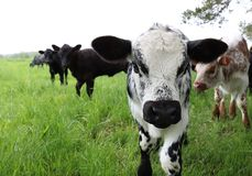 Black and white mottled colors young calf front face view on pasture stock image
