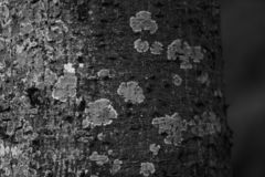 Black and white Mottled Tree Bark stock image