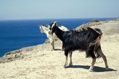 Black and white mountain goat on the seashore Royalty Free Stock Images