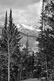 Black and White Mountains. Black and white photo of snow-covered Rocky Mountains as seen between tall pine trees stock image