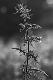 Black and white nettle Royalty Free Stock Image