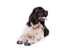 Black and White Newfoundland dog or Landseer Royalty Free Stock Photos