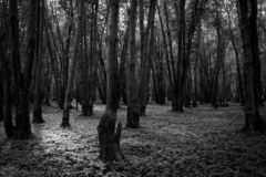 Black and white north american forest royalty free stock photography