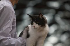 Black And White Norwegian Forest Cat royalty free stock photography