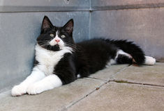 The black-and-white Norwegian forest cat Stock Photos