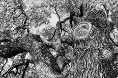 Black and white Oak Tree royalty free stock photos