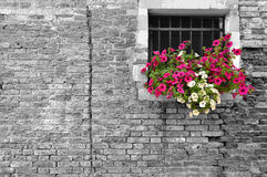 Black and white of old brick wall in Italy with selective focus on petunia flowers in the window Stock Photos