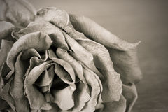 Black and white old dead rose Royalty Free Stock Image