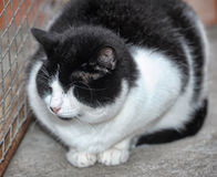 Black and white one-eyed cat Royalty Free Stock Images